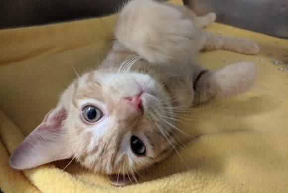 Benefits of Cat Pheromone Diffusers